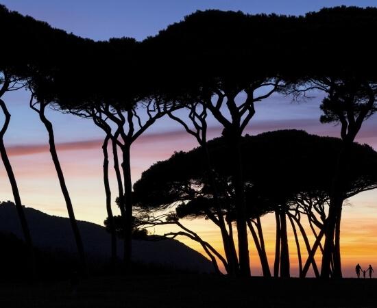 Pinewood at sunset