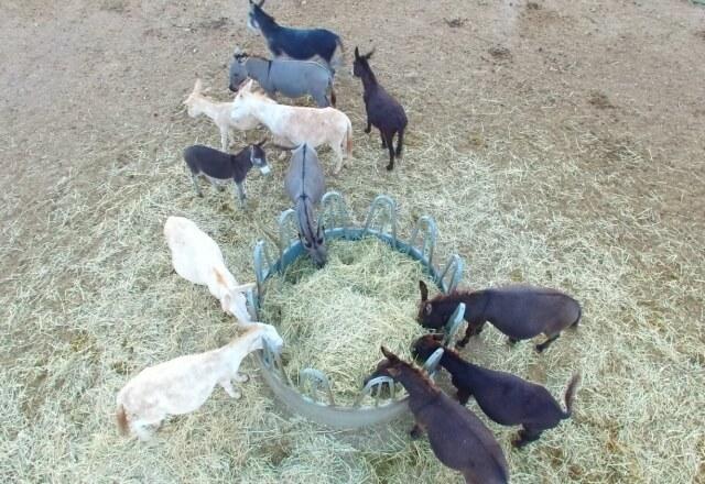 Esel der Giara im Naturpark Porto Conte