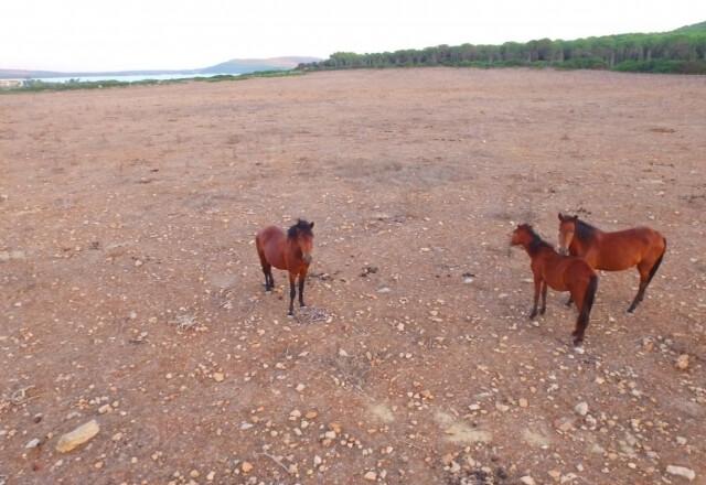 Cavalli selvatici a Porto Conte